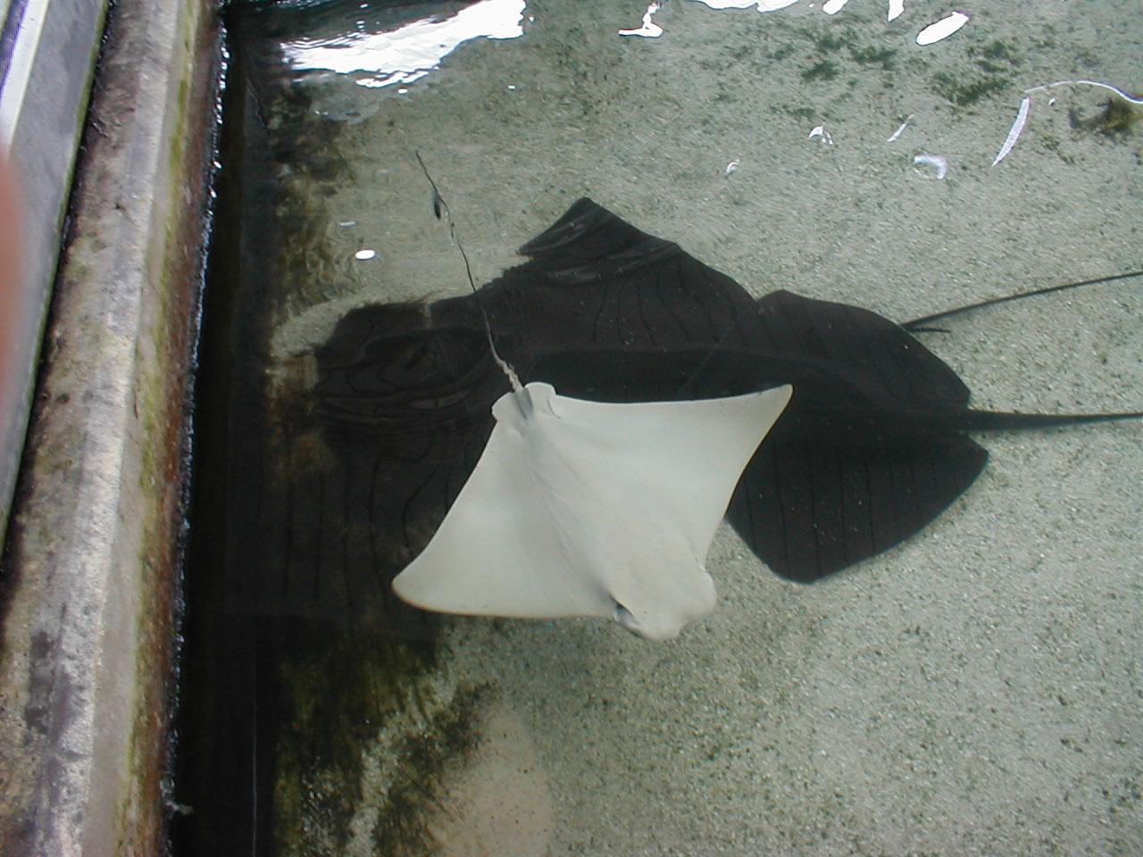 Autres animaux marins Albinos - Page 3 Seaworld%20Albino%20Stingray_jpg